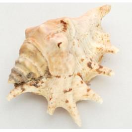 Морски сувенир - красив рапан - 5см
