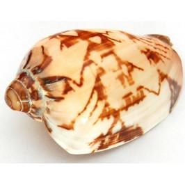 Морски сувенир - красив рапан - 10см