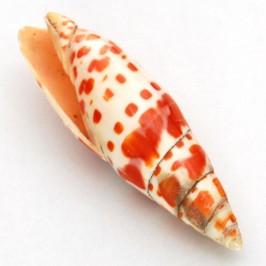 Морски сувенир - красив рапан - 8см